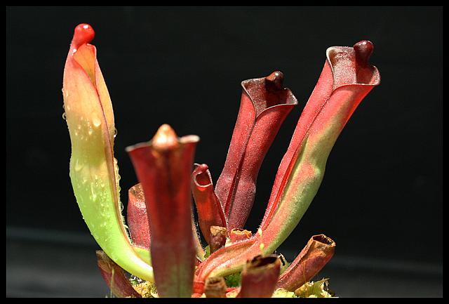 Heliamphora purpurascens