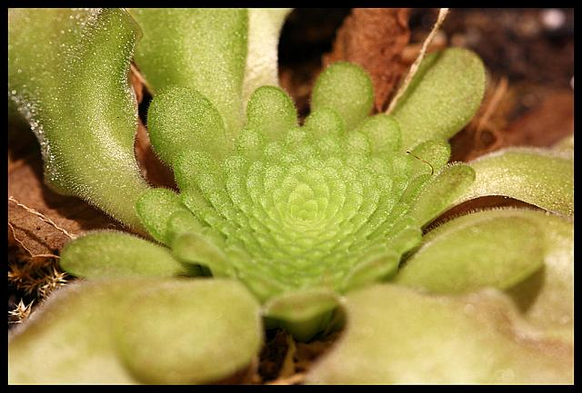 Pinguicula sp. Lautner 92/52