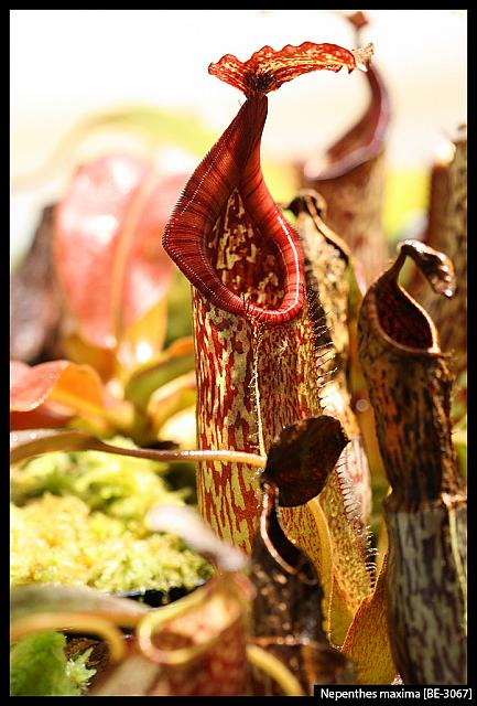Nepenthes maxima [BE-3067]