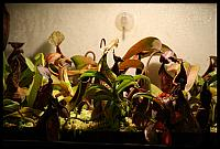 Nepenthes-Terrarium