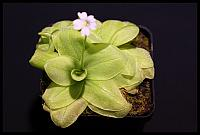 Pinguicula chilensis x chuiquisacensis