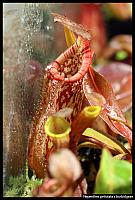 Nepenthes petiolata x burbidgeae