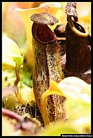 Nepenthes robcantleyi x fusca