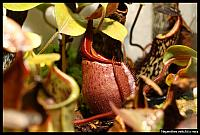 Nepenthes veitchii x mira