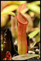 Nepenthes ventricosa x dubia