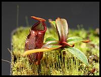 Nepenthes angasanensis 2015