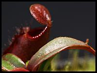 Nepenthes angasanensis
