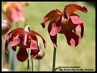 Sarracenia leucophylla {Gas Station Site, Perdido, Alabama}